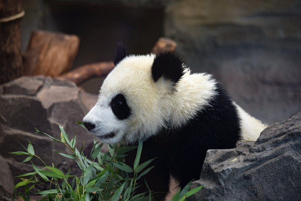 side view of panda with bamboo and rocks