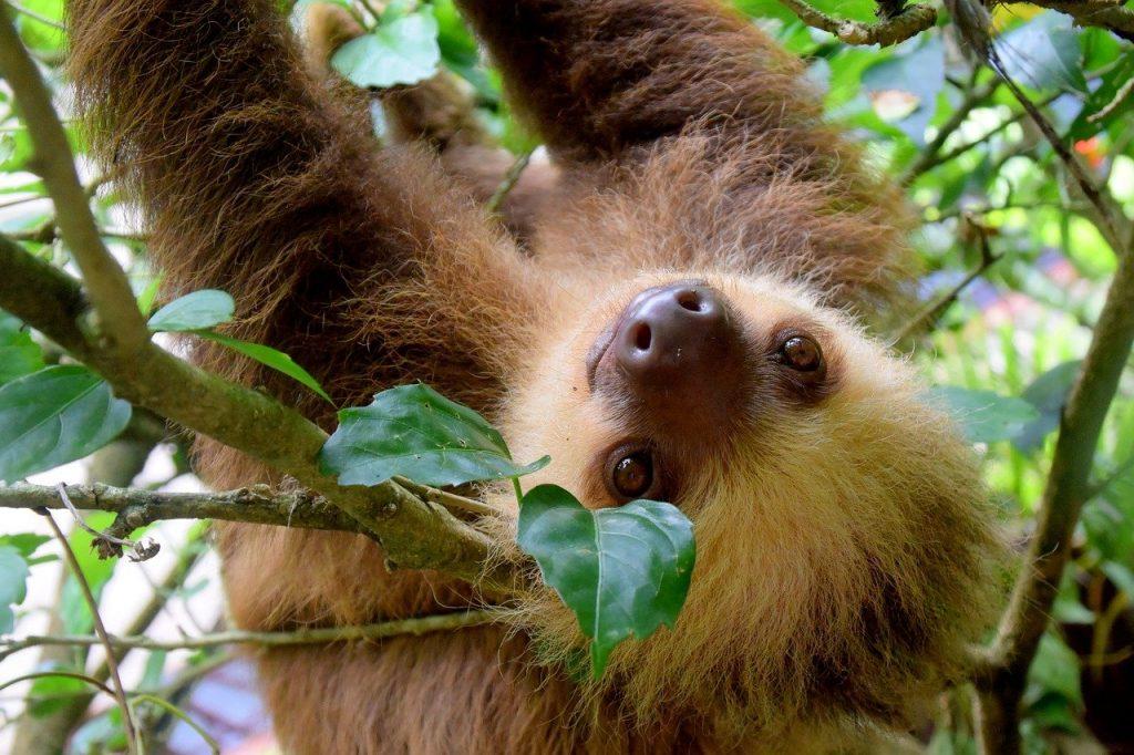 Cute slots - sloth hanging upside down in tree in Costa Rica