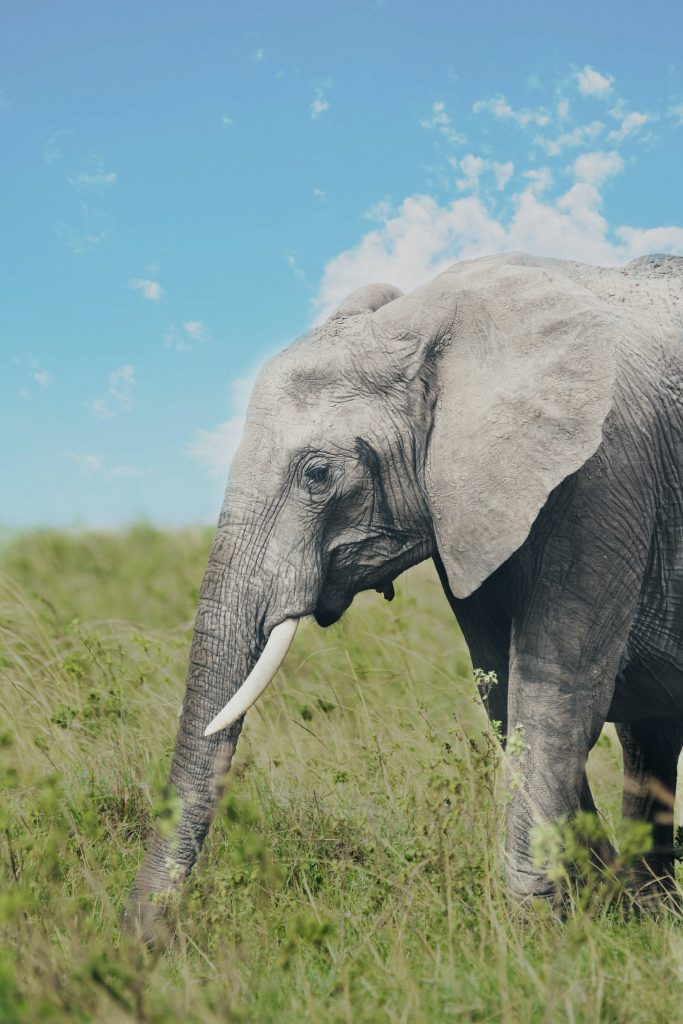 profile of large elephant in savanna - elephant coloring pages