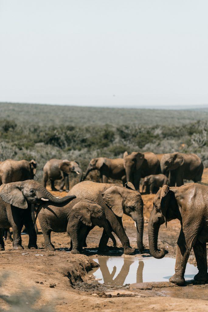 Herd of elephants around watering hole