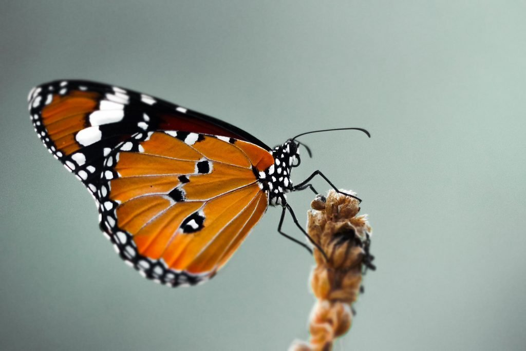 orange and black butterfly close up - printable butterfly coloring pages