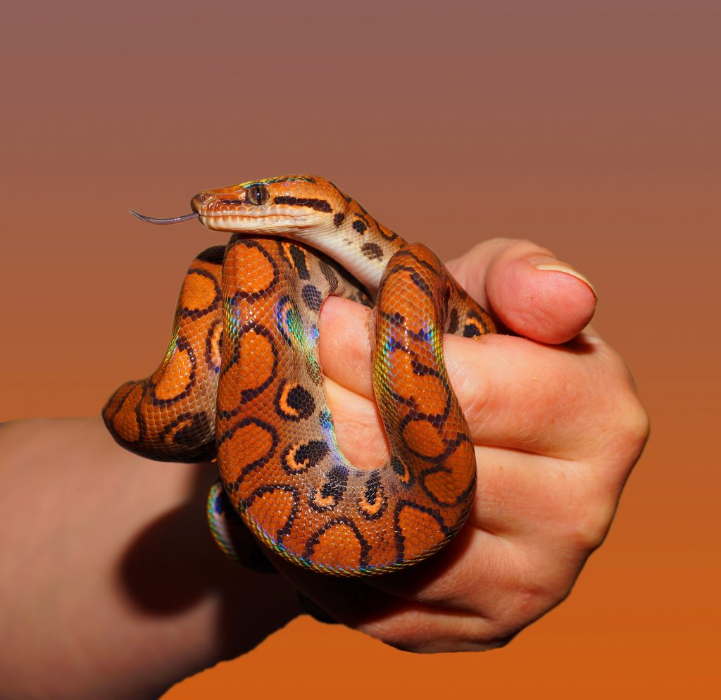 Color snake in man's hand with brown background - snake coloring pages