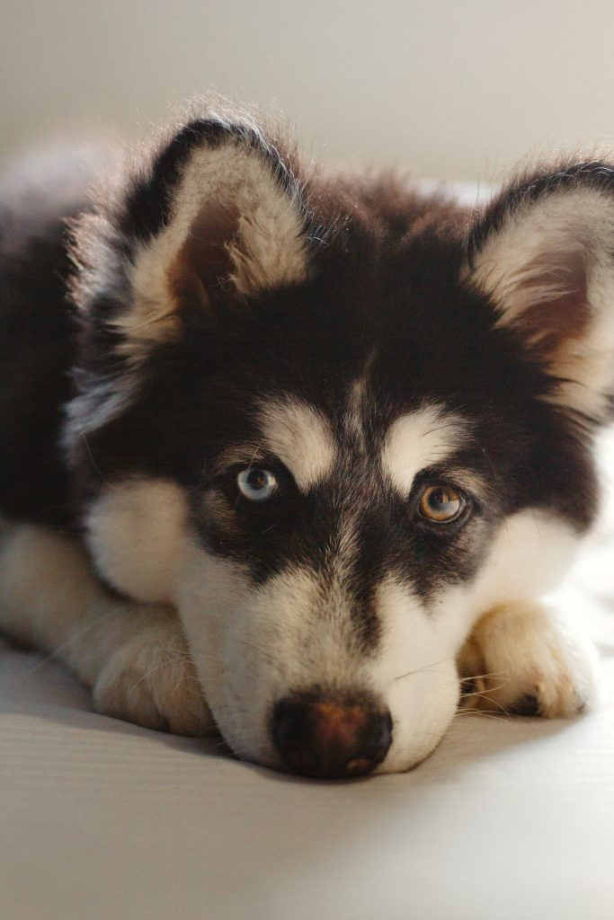 Black and white husky dog with different colored eyes
