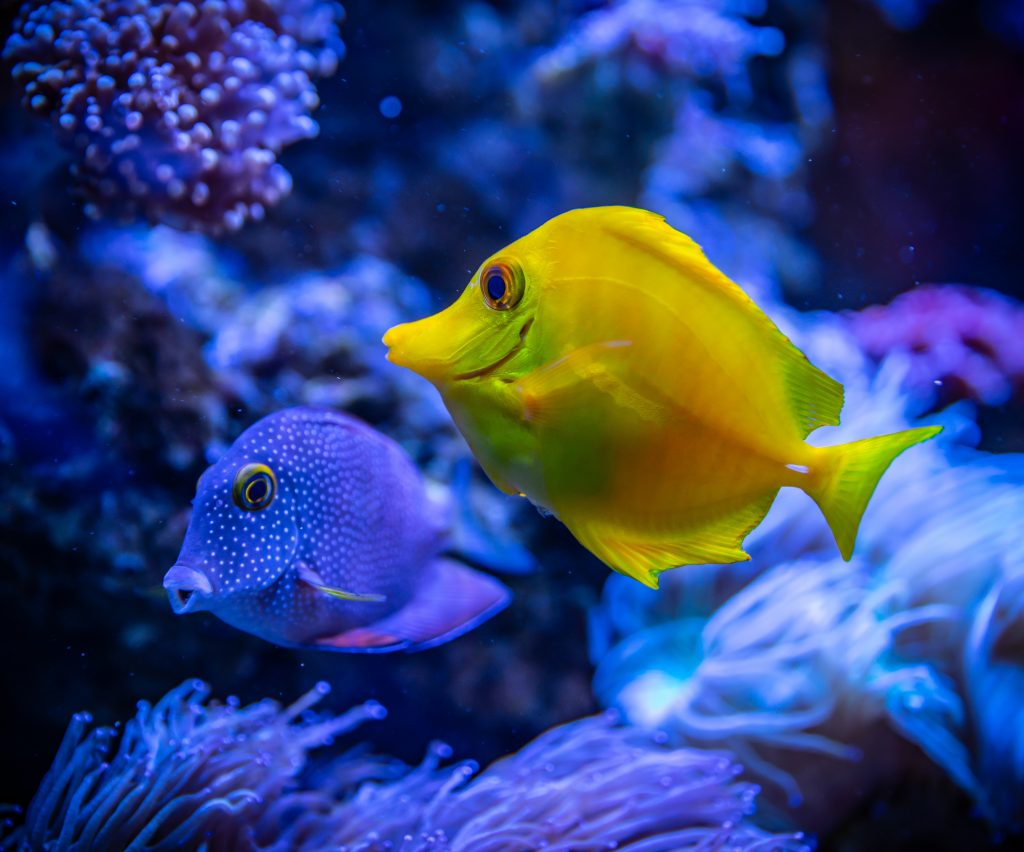 Blue and yellow tropical fish swimming in coral reef environment