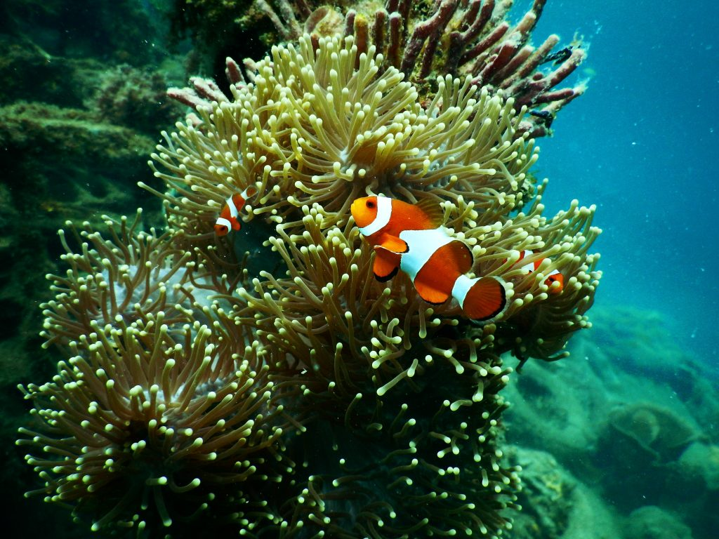 Clownfish swimming near sea anemone - fish coloring pages