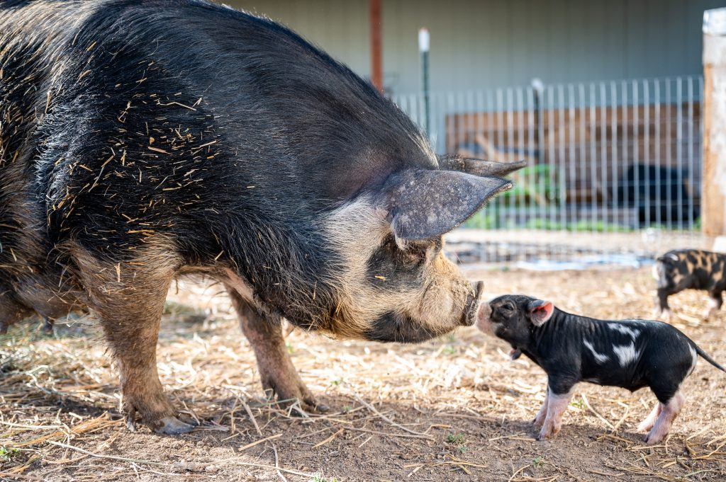Mama pig and baby piglet standing on straw