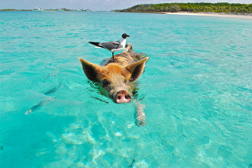 Pig swimming in ocean water with sea bird on its back