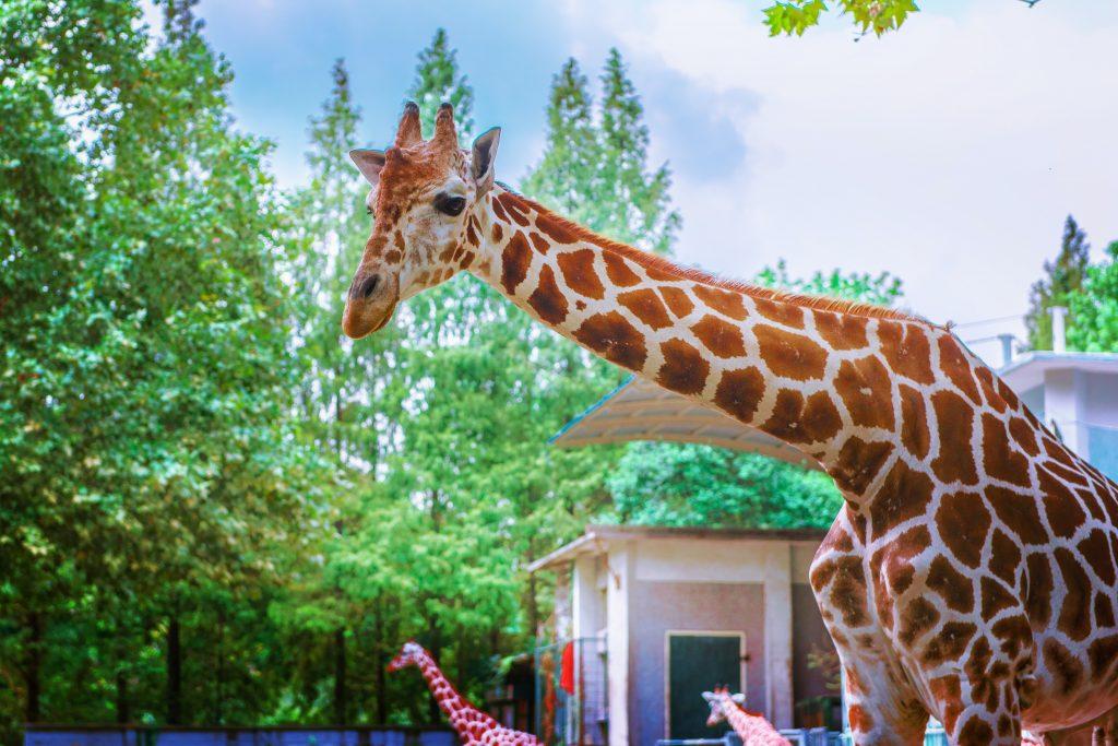 Giraffe in profile - giraffe pictures to color