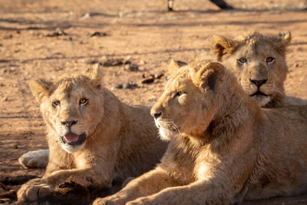 adult lions lying in savanna