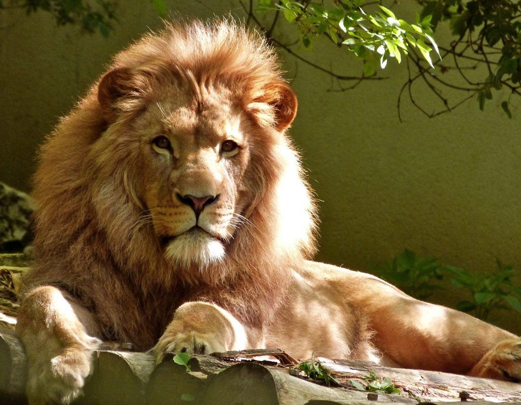 male lion with full mane