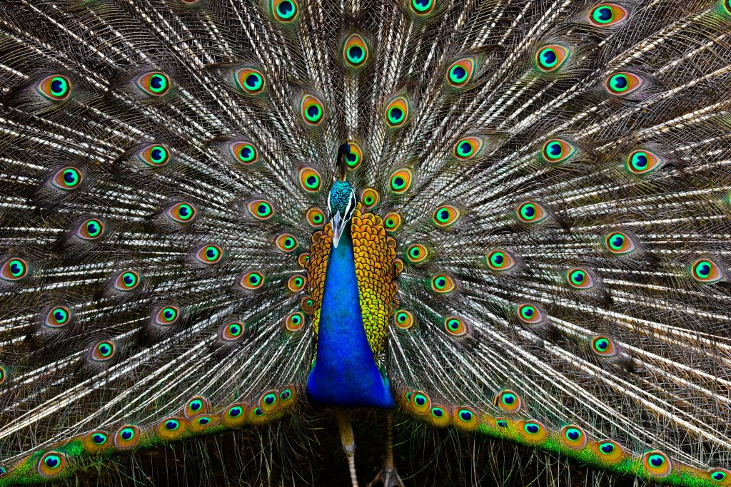 Male peacock with huge tail