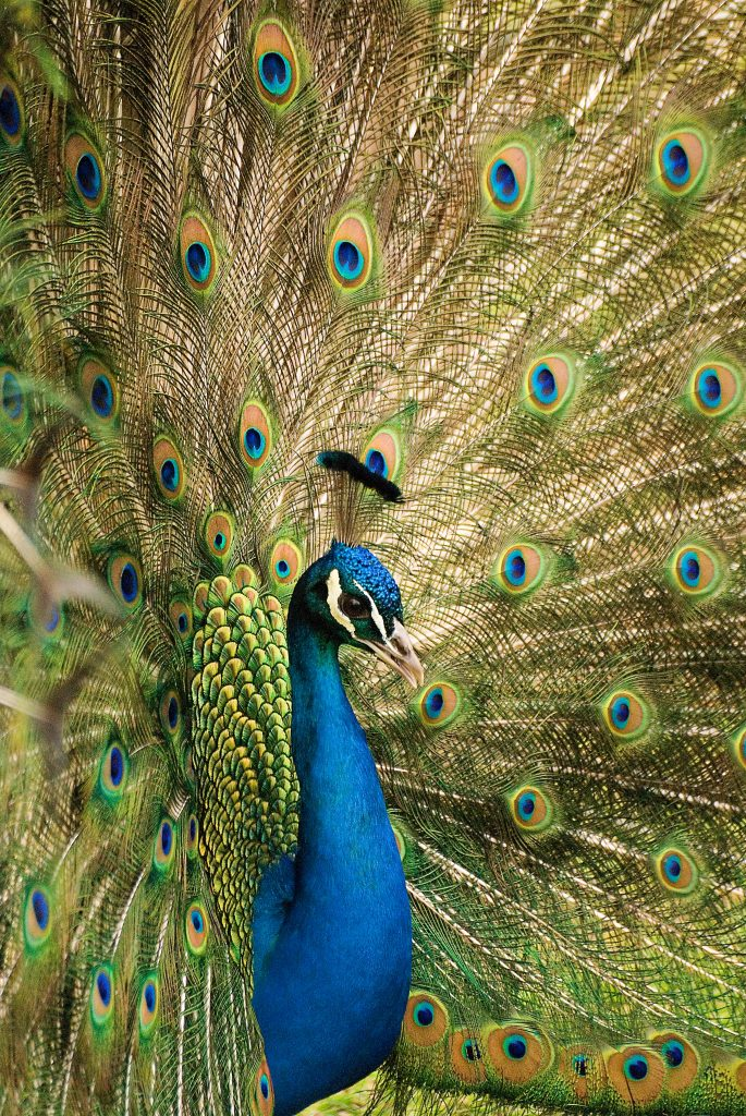 Male peacock with huge plumage - peacock printables