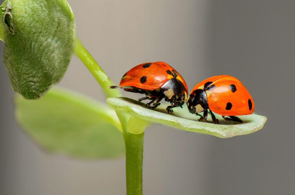 Two ladybugs on green leaf