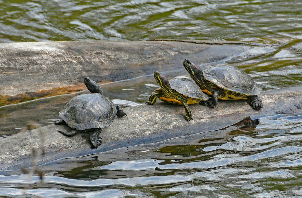 Three turtles on log in lake