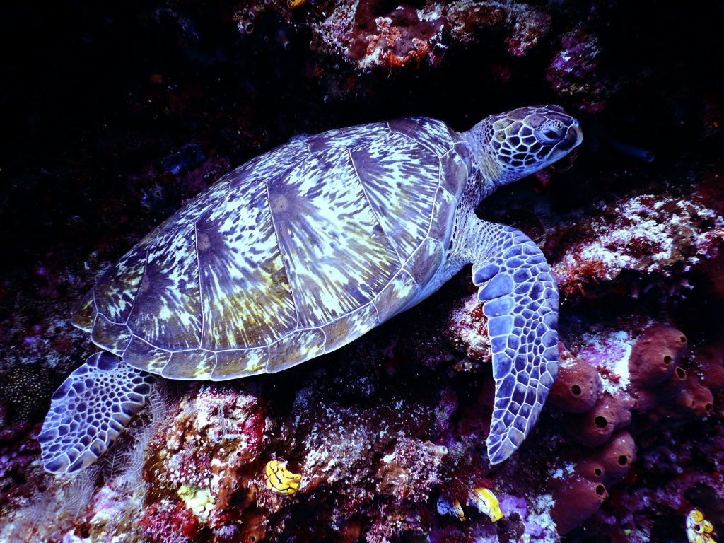 Large sea turtle underwater - turtles pictures to color