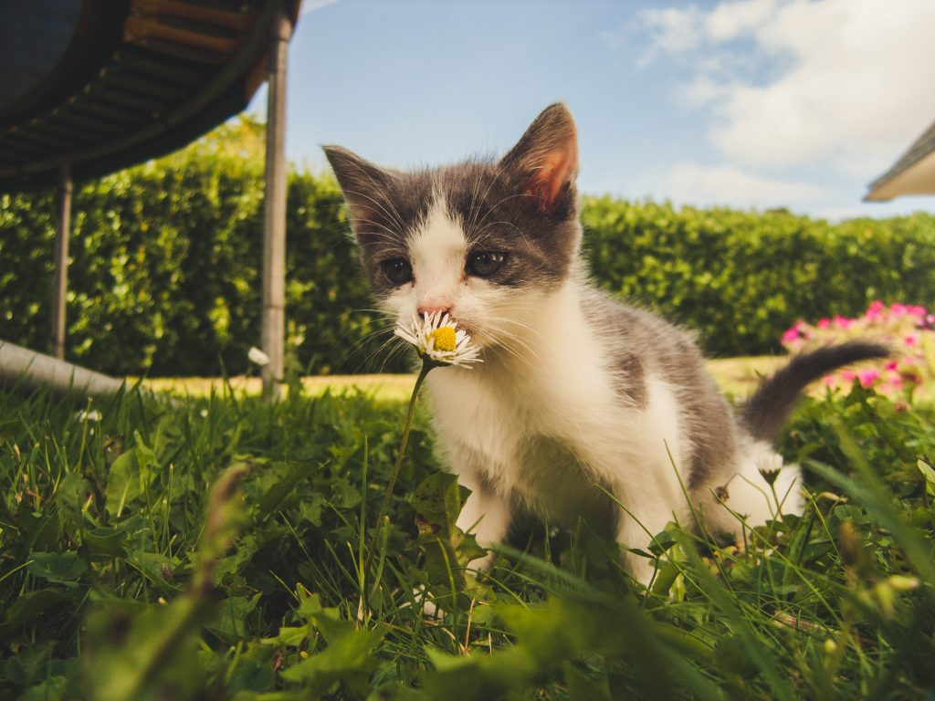 gray and white kitten sniffing daisy in green yard