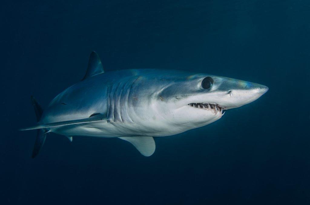 blue shark swimming underwater