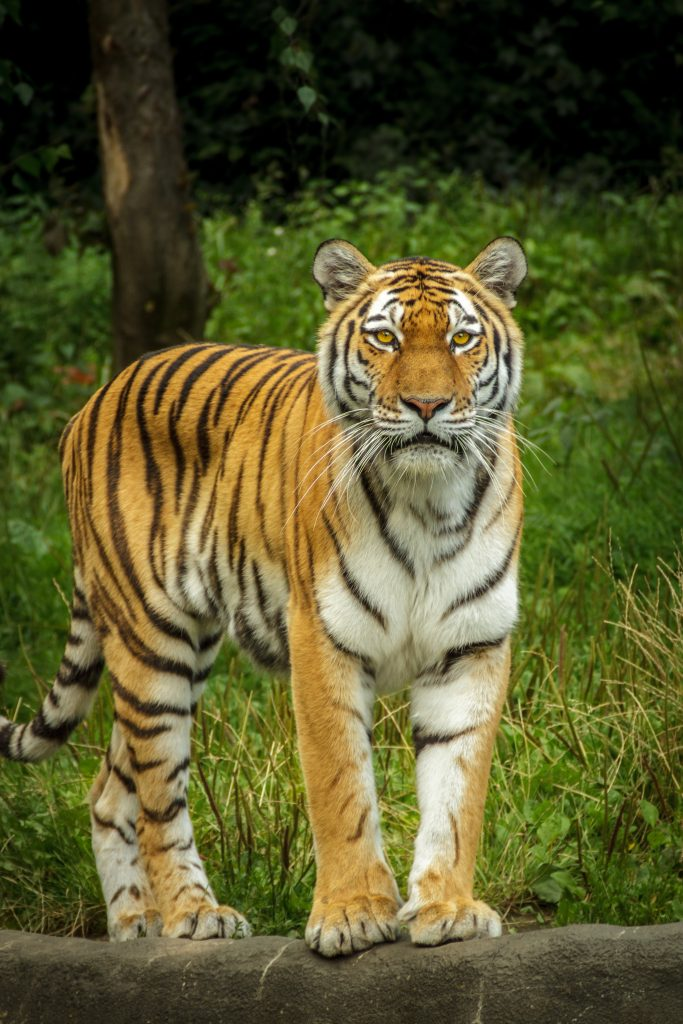 Adult tiger standing in grassy field - pictures of tigers to color