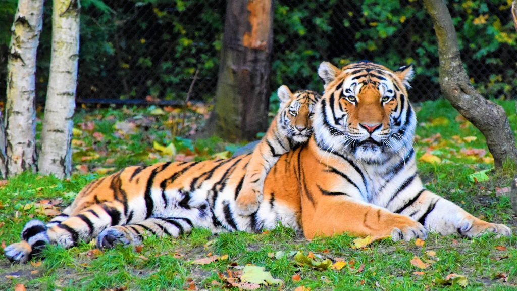 Mother and baby tigers laying in grass - tiger coloring pages